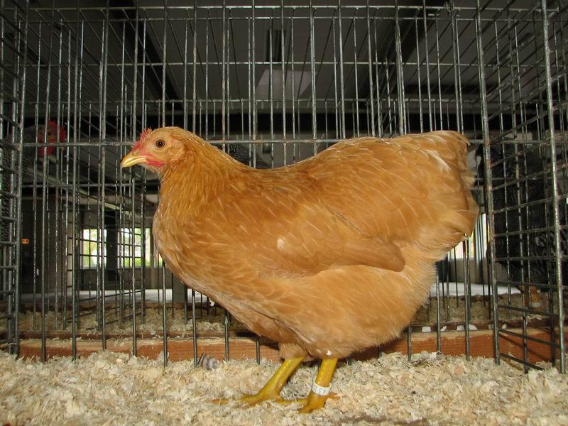 Buff Rock Chicken Plymouth Rock Buff Hen